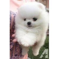 cachorros de Pomerania disponibles