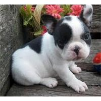 French bulldog babies looking for their new homes